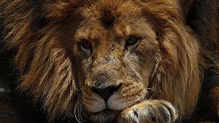 Afrique du Sud : des lions protégés dans l'immense savane de Balule