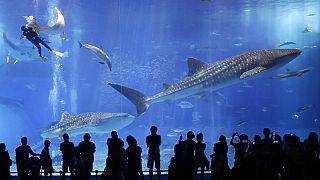 Whale sharks swim in the Black Current sea tank at Okinawa Churaumi Aquarium