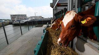 Les vaches de la ferme flottante de Rotterdam, le 05 septembre 2021