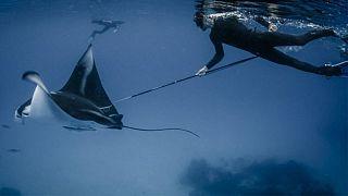 Avlanan bir Manta Ray balığı