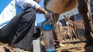 تولید صابون از شیر الاغ در اردن