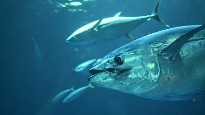 A majority of commercially fished tuna species are showing signs of recovery.