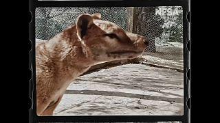 تصاویر جدید و رنگی از آخرین گرگ تاسمانی روز سهشنبه در هشتاد و پنجمین سالگرد تلف شدن این جانور و منقرض شدن نسلش، منتشر شد.