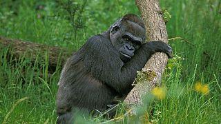 ابتلای گوریلهای باغوحش آتلانتا به ویروس کرونا (عکس از آرشیو)