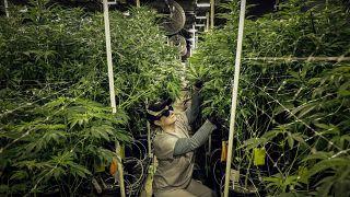 coltivazione di erbe terapeutiche