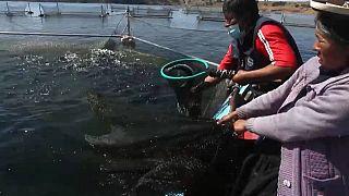 Productores de truchas en el lago Titicaca, en Perú
