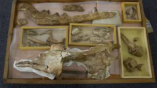 """حفريات حوتعاش قبل 43 مليون عام أطلق عليه اسم """"Phiomicetus Anubis""""، تم اكتشافه منذ أكثر من عقد في الفيوم في الصحراء الغربية بمصر."""