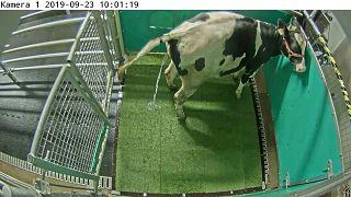 باحثون في نيوزيلندا تمكنوا من تدريب الأبقار على دخول الحمام