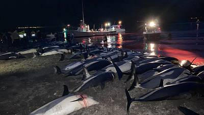 Nearly 1,500 dolphins were killed in the Faroe Islands as part of a traditional hunt.