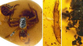 عنکبوت ۹۹ میلیون ساله در صمغ درخت