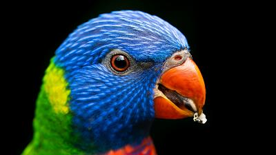 Australian parrots have seen their bills increase in size by up to 10 per cent.