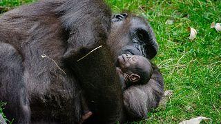 گوریل ماده  به همراه نوزادش