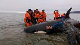 Walbaby in Russland gerettet