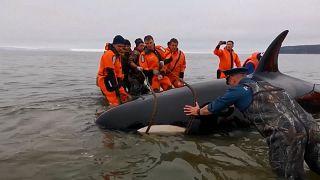 """شاهد: إنقاذ رضيع حوت """"الأوركا"""" القاتل من """"الغرق في الرمال"""" شرق روسيا"""