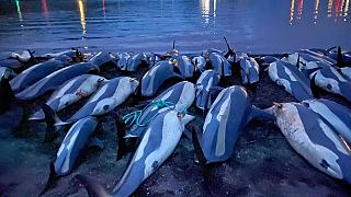 White-sided dolphins lie dead on the Eysturoy beach after the slaughter on Sunday, September 12.