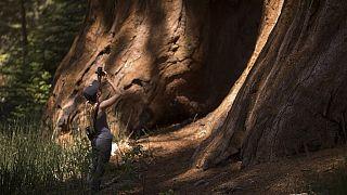 ABD'deki sekoya ağacı