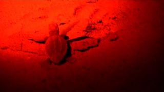 Meeresschildkröte auf dem Weg zum Meer