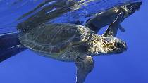 Cap-Vert : préserver les tortues marines