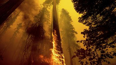 The Windy Fire burns in the Trail of 100 Giants grove in Sequoia National Forest, California.