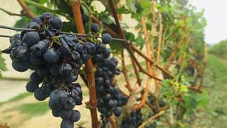 Hail damaged grapes at Château Angelus in Saint-Emilion in 1999