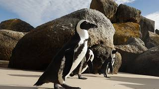 Pápaszemes pingvinek Fokváros Boulders Beach nevű tengerpartján 2018. április 20-án. Az egyetlen afrikai pingvinfaj, jelenleg 1700 körüli egyedet tartanak nyilván