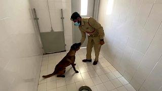 تدرب شرطة دبي الكلاب على اكتشاف كوفيد-19 عن طريق الشم