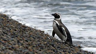 Güney Afrika pengueni