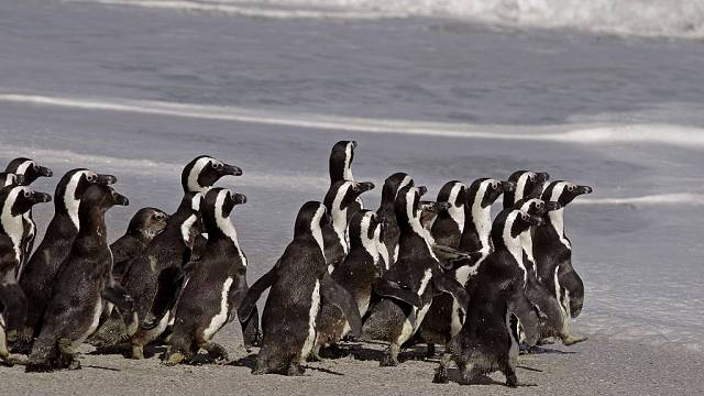 South Africa: Preliminary investigation shows penguins killed by bee swarm