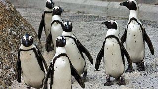 پنگوئنهای آفریقایی