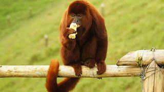میمون جیغکش