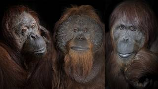 Portraits from series 'Orangutans On a Thin Vine' selected for Px3 'State of the World' collection. 2021.