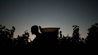 A man at work during the wine harvest in the Domaine Cheveau on September 22, 2021 in Solutre-Pouilly