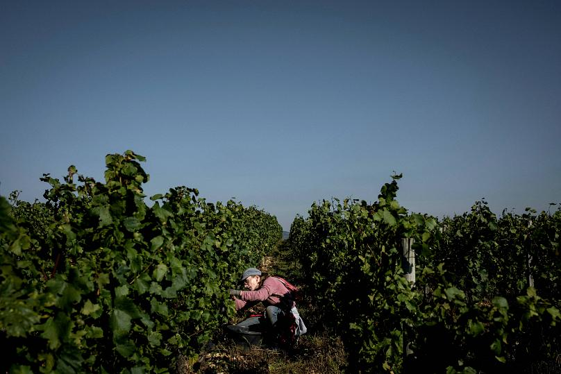 Burgundy harvest confirms 'millesimus horribilis' as winemakers say 'there really isn't much left.'