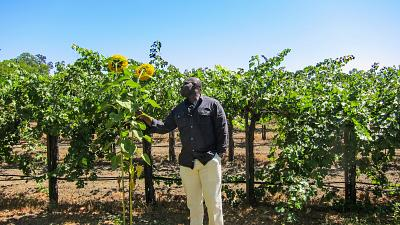 Environmental volatility is detrimental to wine-making.