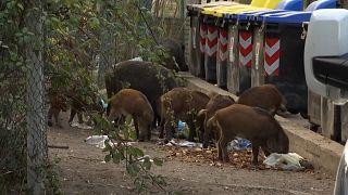 ویدئویی از ایتالیا؛ گرازهای وحشی در خیابانهای رم سرگردان شدند