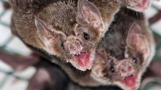 خفاشهای خونآشام