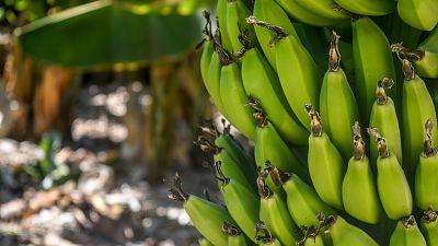 Bananas ripen on a tree.
