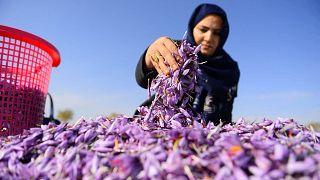 عاملة أفغاني تفرز أزهار الزعفران في حقل على مشارف هرات، أفغانستان، 13 نوفمبر/ تشرين الثاني 2018