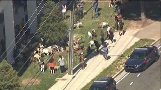 قطيع من الماعز يتجول في أحد أحياء أتلانتا الأمريكية 27.09.21
