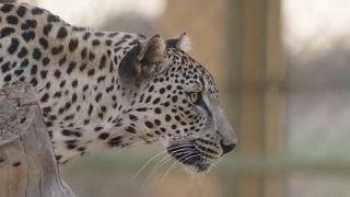فهد عربي وهو من بين الحيوانات المهددة بالإنقراض، ويعيش داخل مركز تديره الهيئة الملكية لمحافظة العلا بالسعودية