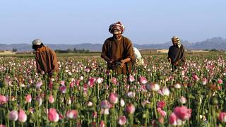 farmers harvest raw opium at a poppy field in the Zhari district of Kandahar province, Afghanistan, April 11, 2016.