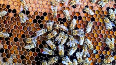 Bees congregate around a honeycomb.