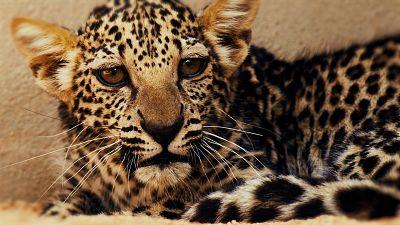 The Arabian leopard cub was born on April 23 at the Arabian Leopard Breeding Centre in Taif, Saudi Arabia.