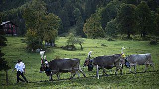 Alpabtrieb in der Schweiz