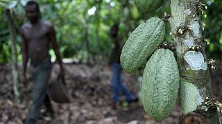 Heartbreak as Ivory Coast sets lower cocoa purchase price