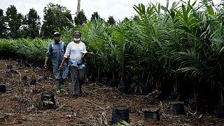 Le Nigeria veut relancer sa production d'huile de palme