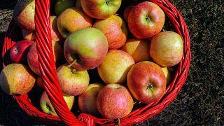 Kosárban a leszedett almák. Az ország keleti részén fekvő város észak-keleti határában lévő gyümölcsös kertekben megkezdődött az almaszüret