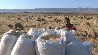 الجفاف والحرائق يتسببان بأضرار في محاصيل القمح في سوريا