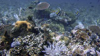 الشعب المرجانية بالقرب من جزر كومودو بإندونيسيا. sh