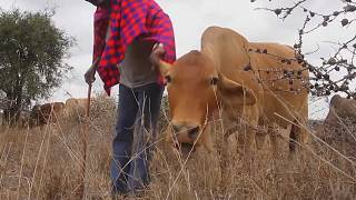 Maasai give up nomadic lifestyle due to climate change